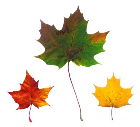 Full-size composite photo of maple autumn leaves isolated on white background photo