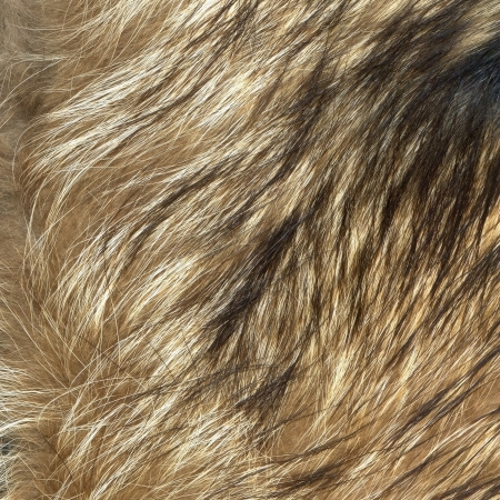 Close up wolf fur texture to background photo