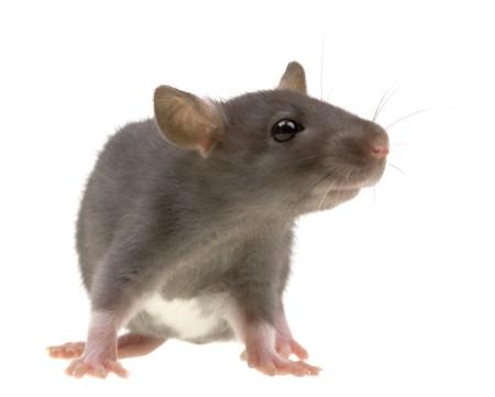 rats: Funny ratto isolato su sfondo bianco