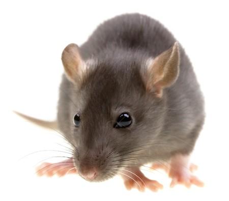 Funny rat geïsoleerd op witte achtergrond