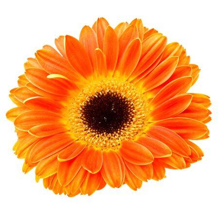 Orange daisy flower isolated on white background photo