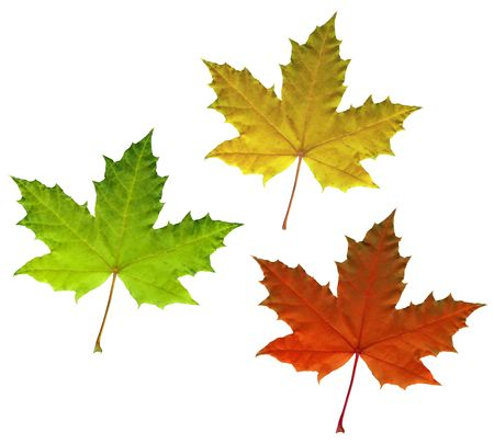 Full-size photo of color maple autumn leaves isolated on white background Standard-Bild