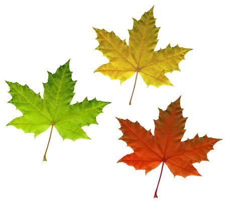 Pełny rozmiar zdjęcia koloru liści klonu jesienią wyizolowanych na białym tle Zdjęcie Seryjne