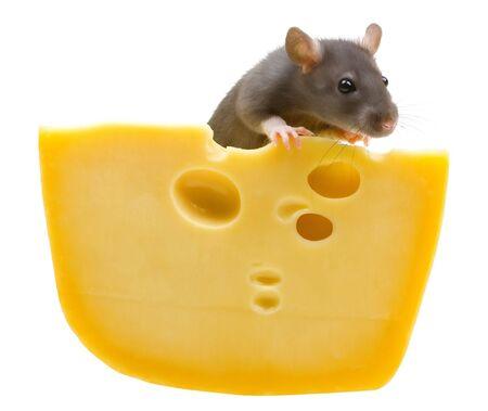 Funny szczurów i ser odizolowane na białym tle Zdjęcie Seryjne