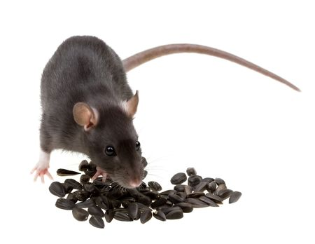 Funny rat eat sunflower seeds isolated on white background