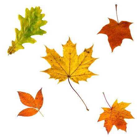 Full-size composite photo of various autumn leaves isolated on white background Stock Photo