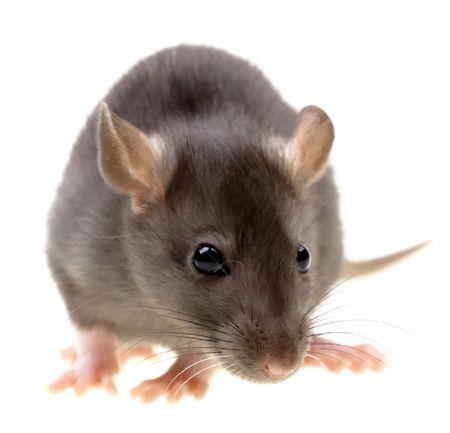 raton: Funny aislados de ratas en el fondo blanco