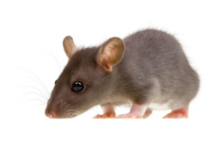 Funny rat isolated on white background photo