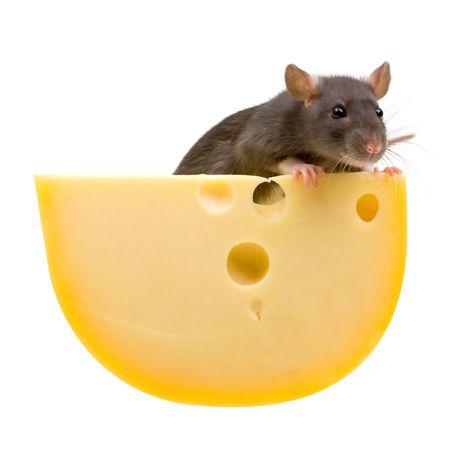 Funny rat en kaas geïsoleerd op witte achtergrond