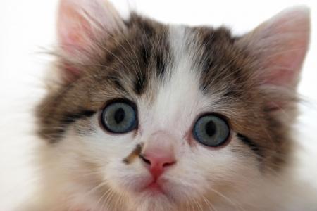 whiskar: Close-up portrait of small kitten on wite background