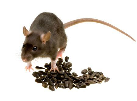 Funny rat eat sunflower seeds isolated on white background photo