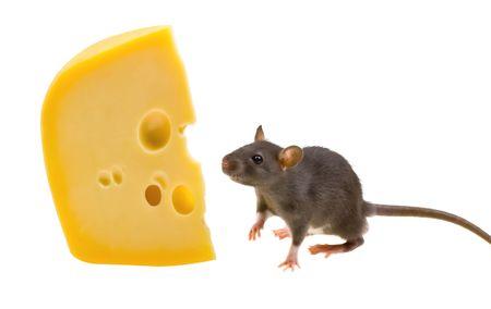 Funny szczurów i sera izolowana na białym tle