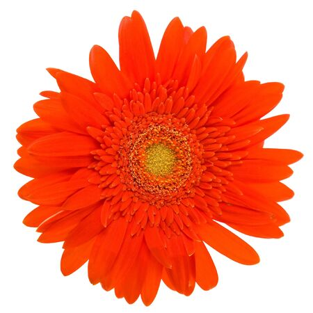 Red daisy flower isolated on white background photo
