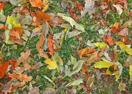 Autumn leaves on green grass to backrground photo