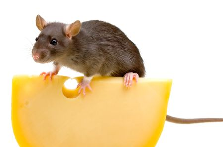 Funny rat and cheese isolated on white background photo