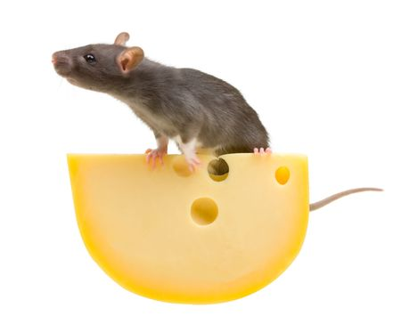 inducement: Funny rat and cheese isolated on white background