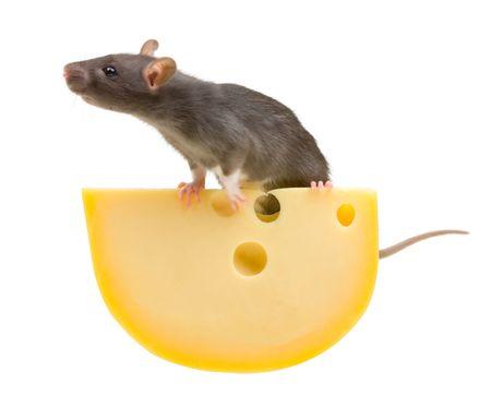 Funny szczur�w i ser odizolowane na bia?ym tle Zdjęcie Seryjne
