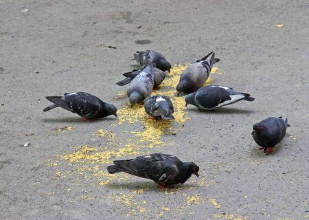 Pigeons feeding itself on a street pavement Stock Photo