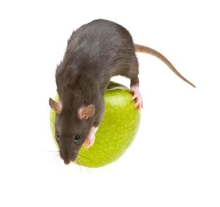 Funny rat and green apple isolated on white background photo