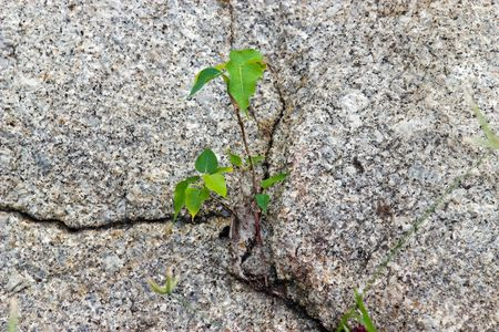 penetrate: Aspiration - young tree penetrating rock
