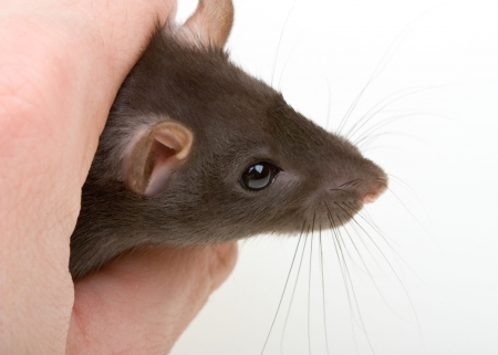 Close-up little mouse catch in human hand photo