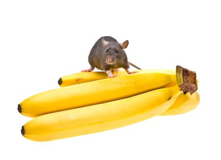 Funny rat and banana isolated on white background photo
