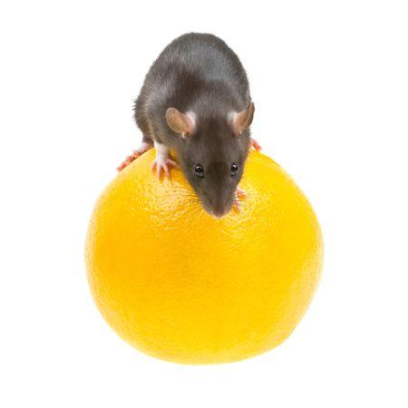 Funny rat and orange isolated on white background photo