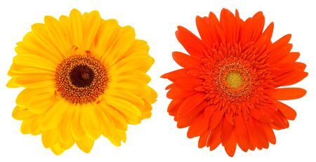 Close-up two daisy flowers isolated on white background photo