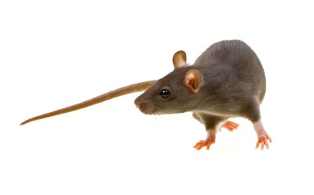 Funny rat isolated on white background