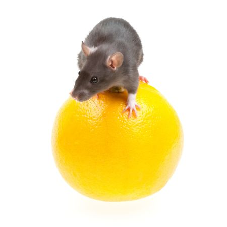 Funny rat and orange isolated on white background photo