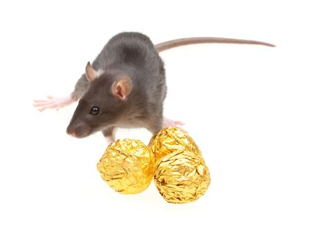 Funny rat and chocolate candies isolated on white background photo