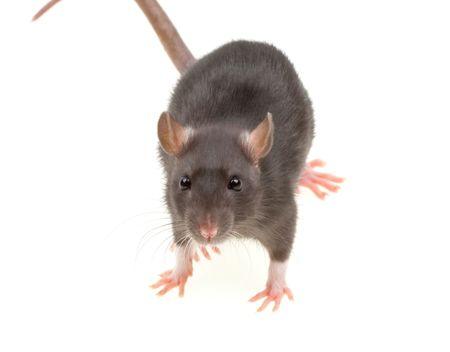 Zabawna szczur wyizolowanych na bia?ym tle Zdjęcie Seryjne