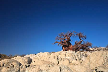 botswana: Africa, Botswana - lonely baobab on the rocks Stock Photo