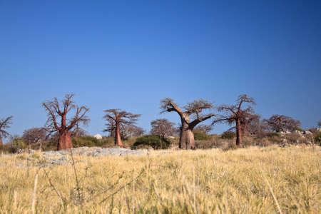botswana: Africa, Botswana - baobabs in the desert Stock Photo