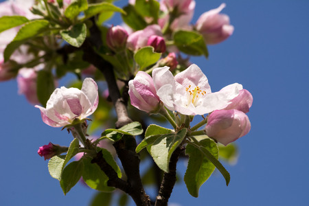 blossoming: Blossoming apple tree