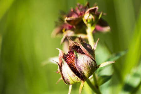 palustre: Flowers Comarum palustre Stock Photo