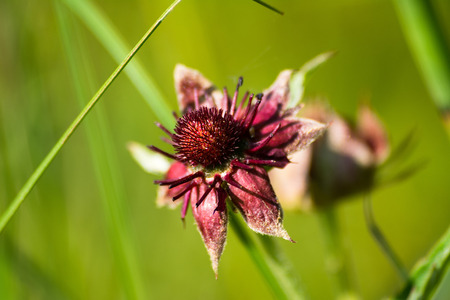 palustre: Flower Comarum palustre