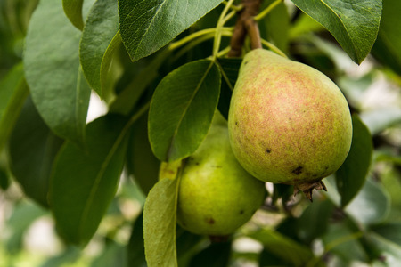 pera: Peras en el árbol Foto de archivo