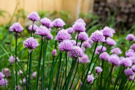 cebollines: Florecimiento de las cebolletas en el huerto Foto de archivo