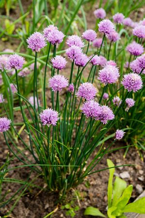 Blossoming chives in the vegetable garden Stock Photo