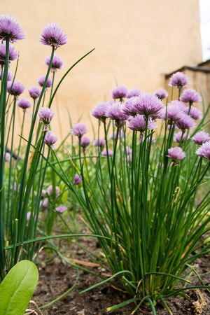 chives: Blossoming chives in the vegetable garden Stock Photo