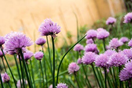 cebolleta: Florecimiento de las cebolletas en el huerto Foto de archivo