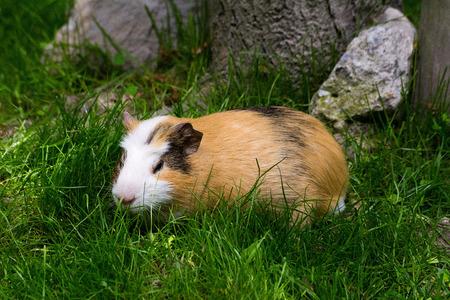 guinea: Guinea pig in the Zoo (Krakow, Poland) Stock Photo