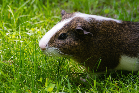 guinea pig: Guinea pig in the Zoo (Krakow, Poland) Stock Photo
