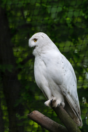 aviary: Snowy owl in aviary in the zoo (Krakow, Poland)