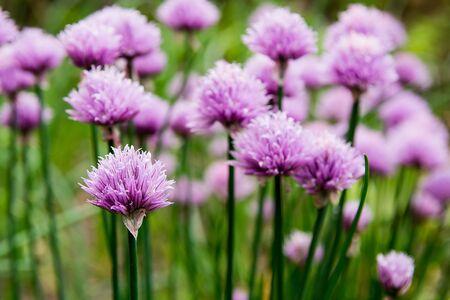 cebollin: Florecimiento de las cebolletas en el jardín