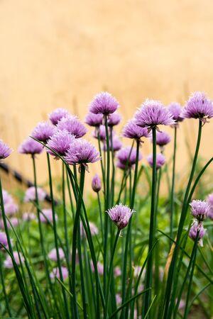 cebolleta: florecimiento cebollino