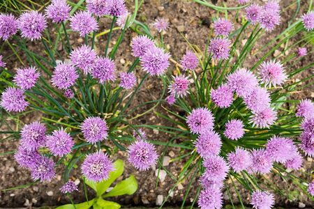 blossoming: blossoming chives