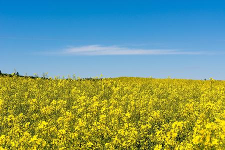Rape field in sunny day (Poland)