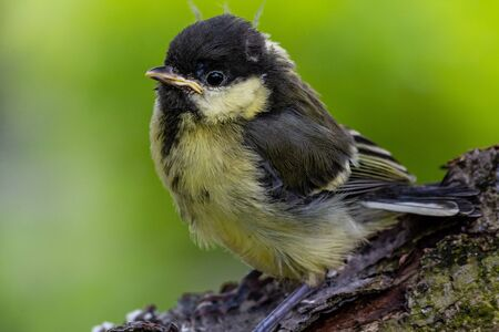 Young great tit (Parus major)